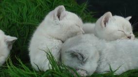 Chatons britanniques de Shorthair dormant sur une couverture pelucheuse verte clips vidéos