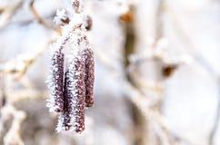 Chatons d'aulne couverts de gel, macro photos stock