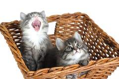 Chatons dans le panier Image stock