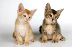 Chatons dans le studio Photo stock