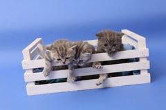 Chatons dans une caisse en bois Photographie stock libre de droits