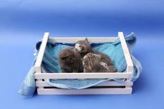Chatons dans une caisse en bois Photographie stock