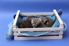 Chatons dans une caisse en bois Images stock