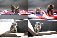 Chatons de bébé jouant sur le tapis et avec le drapeau de la Grande-Bretagne, multicam Photos libres de droits