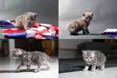 Chatons de bébé jouant sur le tapis et avec le drapeau de la Grande-Bretagne, multicam Image libre de droits