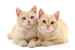 Chatons de Brown Photographie stock