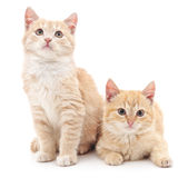 Chatons de Brown Photo stock