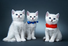 Chatons de la race britannique. Photos libres de droits