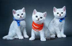 Chatons de la race britannique. Photos stock