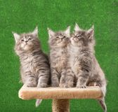 Chatons de Maine Coon Photo stock