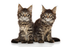 Chatons de Maine Coon Photographie stock