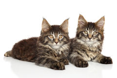 Chatons de Maine Coon Photographie stock libre de droits