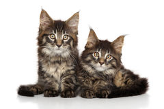 Chatons de Maine Coon devant le fond blanc Photo stock