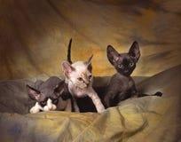 3 chatons de rex du Devon Images libres de droits