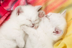 Chatons de sommeil Photographie stock