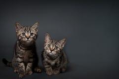 Chatons des Anglais Shorthair Photo libre de droits