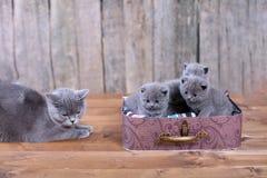 Chatons des Anglais Shorthair dans une valise Photos stock