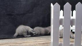 Chatons des Anglais Shorthair jouant près d'une barrière banque de vidéos