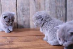 Chatons des Anglais Shorthair sur un fond en bois Images stock