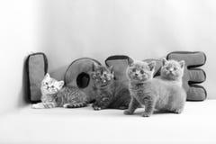 Chatons et amour des Anglais Shorthair Photo libre de droits