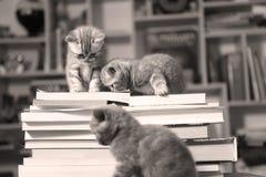 Chatons et livres des Anglais Shorthair Photographie stock