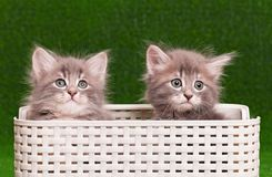Chatons gris mignons Photographie stock
