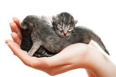 Chatons gris nouveau-nés dans des mains Image libre de droits