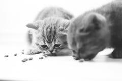 Chatons mignons affamés, vue de plan rapproché Photographie stock libre de droits