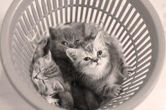 Chatons mignons dans un panier en plastique Images stock