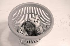 Chatons mignons dans un panier en plastique Photo libre de droits