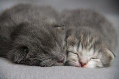 Chatons mignons de sommeil Photos stock