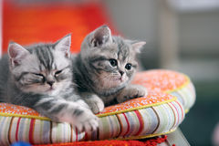 Chatons mignons des Anglais Shorthair Photographie stock