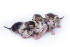 Chatons mignons jouant sur le fond blanc Photos stock