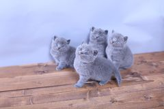 Chatons mignons recherchant, les Anglais Shorthair Photo stock
