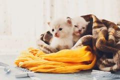 Chatons nouveau-nés blancs dans une couverture de plaid Photo stock