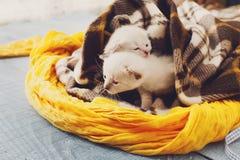 Chatons nouveau-nés blancs dans une couverture de plaid Images stock