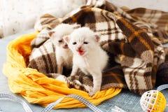 Chatons nouveau-nés blancs dans une couverture de plaid Image libre de droits