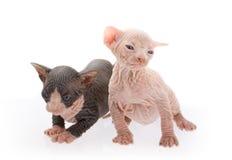 Chatons nouveau-nés de sphinx Photographie stock libre de droits