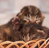 Chatons nouveau-nés mignons Image libre de droits
