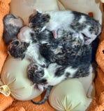 Chatons nouveau-nés sur des réchauffeurs Photo libre de droits