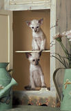 Chatons orientaux Photographie stock