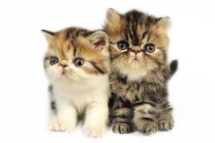 chatons persans Image libre de droits