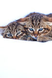 Chatons sauvages Photo libre de droits
