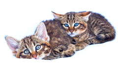 Chatons sauvages Photographie stock