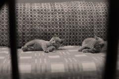 Chatons se reposant sur le divan Photographie stock