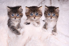 Chatons se situant dans le lit avec la couverture Image stock