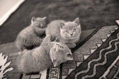 Chatons se trouvant sur le tapis et recherchant Images libres de droits