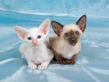 Chatons siamois assez mignons sur le tissu bleu Photographie stock libre de droits