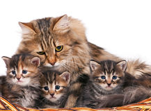 Chatons sibériens Image stock