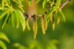 Chatons sur la branche sur le fond brouillé par vert Photo libre de droits